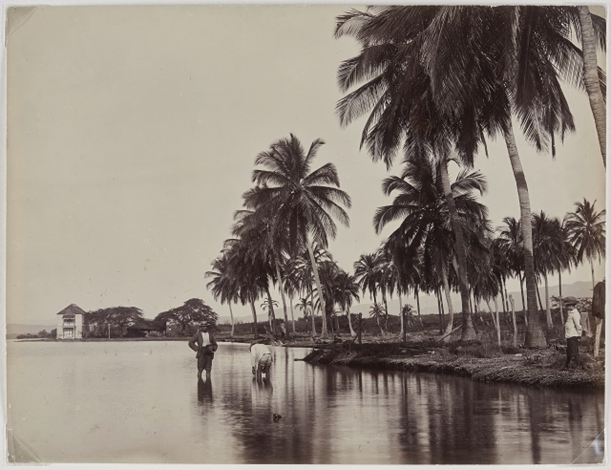J.W. Cleary, Coconut Palms, Kingston Harbour