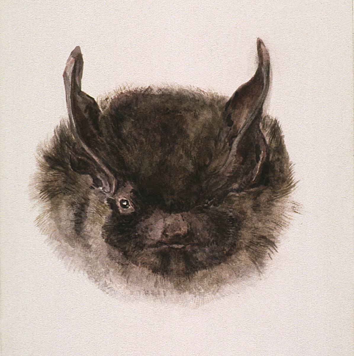 Beatrix Potter, Study of the head of a bat, full face